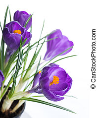 primavera, flor, fundo, Açafrão