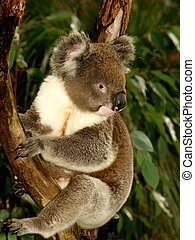 Koala in Tree II - Koala sitting in an Eucalyptus Tree,...
