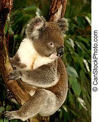 Koala in Tree II - Koala sitting in an Eucalyptus Tree,...