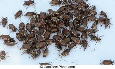 bug climb over each other - coleopteran beetles pile on a...