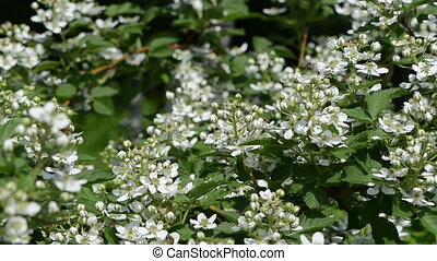 blackberries blossom - many small blackberries blossom buds...