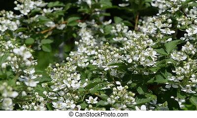 blackberries blossom - many small blackberries blossom buds...