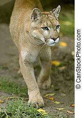 Cougar in its natural habitat