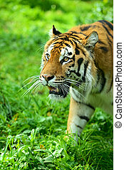 Tigers - Portrait of Amur Tigers