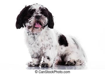 Shih tzu dog on white background - Shih tzu dog on white...