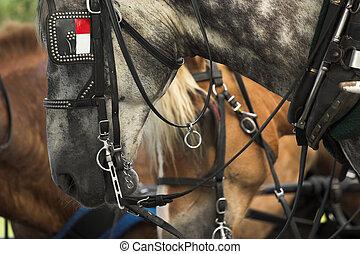 belgian horses ready for work, closeup shot