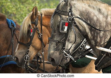 belgian horses ready for work, closeup