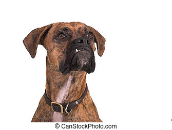 attack dog portrait, isolated over white
