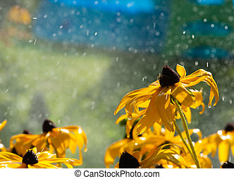 warm summer rain drops on yellow flowers
