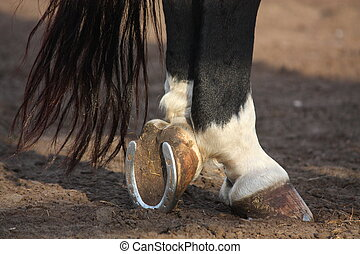 Close up of black horse hoofs - Close up of horse hoofs with...