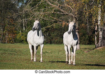 Two white horses at the pasture - Two white horses standing...