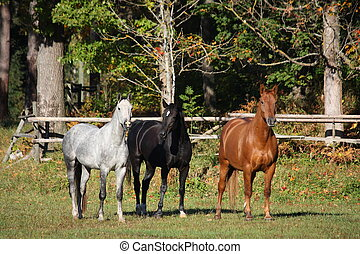Three horses at the pasture - Three horses white black red...