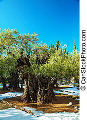 Gethsemane garden in Jerusalem with olives covered with snow