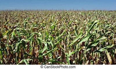 Corn field - Vibrant corn field blowing in the wind on a...