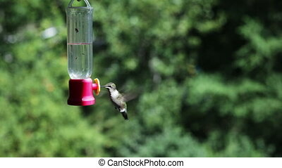 Hummingbird at feeder - Closeup of a hummingbird drinking...