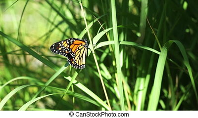Butterfly monarch - Closeup of a monarch butterfly sunning...