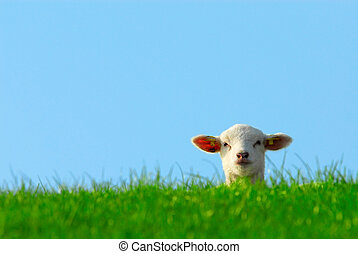cute lamb in spring - funny image of a cute lamb in spring
