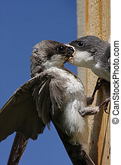 Mother Tree Swallow Feeding Baby - Mother Tree Swallow...