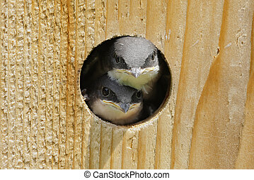 Baby Birds In a Bird House - Hungry Baby Tree Swallows...