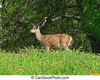 Spring Deer - A doe stands in a blooming springtime field.