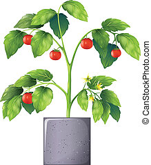 A tomato plant - Illustration of a tomato plant on a white...