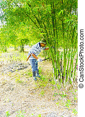 bamboo cutting - a man with a machete cut bamboo trees