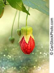 Red of Abutilon flower