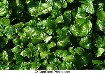 lemon balm kitchen herb.