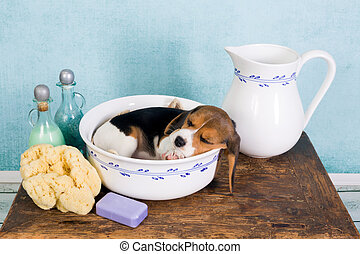 Puppy in washtub - Sleepy seven weeks old little beagle...