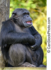 Closeup chimpanzee sitting