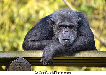 Portrait of chimpanzee Pan troglodytes lying on a wood plank...