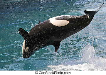 Killer whale jumping out of water - killer whale (Orcinus...