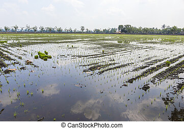Paddy field with cloud reflection