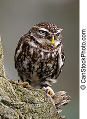 Little Owl on perch - Little Owl perched on a branch