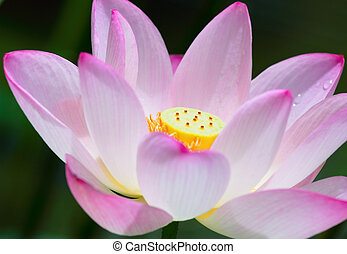 Lotus flower close up