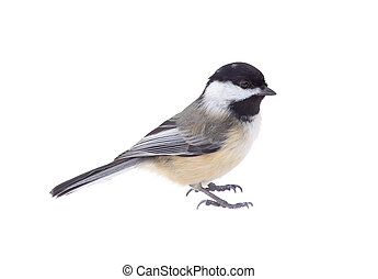 Black-capped Chickadee, Poecile atricapilla, Isolated -...