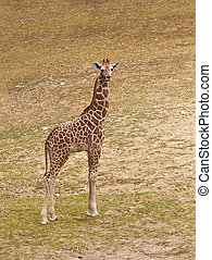 Giraffe (Giraffa camelopardalis) - young giraffe in natural...