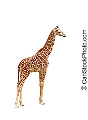 Giraffe Giraffa camelopardalis, isolated on white background...