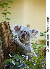 Koala, bosque, oso