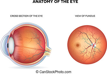 Anatomy of the eye, cross section and view of fundus...