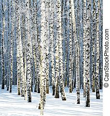 Snowy winter birch grove in sunlight
