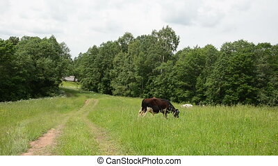 bull graze road house - mottled bull graze in pasture near...