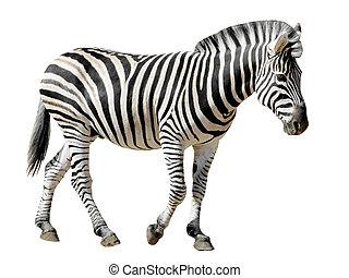 Isolated Burchell Zebra - Profile Burchell zebra Equus...