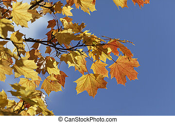 Norway maple in autumn, Germany - Acer platanoides, Norway...