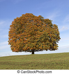 Horse chestnut tree (Aesculus) - Horse chestnut tree...