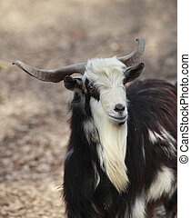 Goat - Black and white male goat (Capra hircus) portrait.