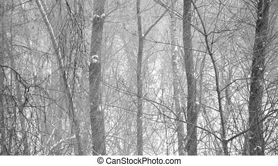 Heavy snowfall in the wood.  Forest trees covered with new falling snow