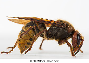 hornet macro - The picture shows a hornet in close-up.