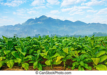 Tobacco farm in morning.