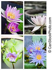 group of beautifull lotus flower